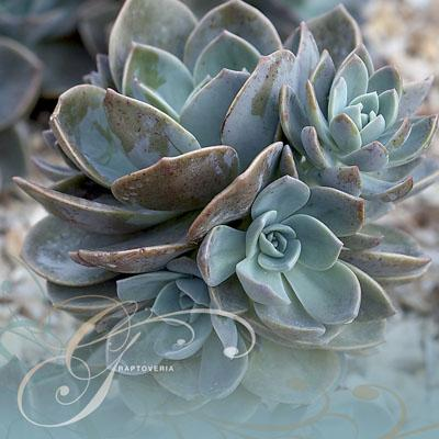 Graptoveria - RHS